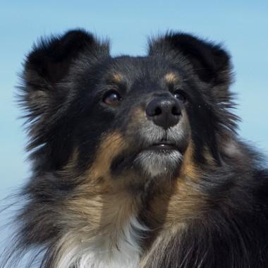 Black Star of the Sheepdog Jumpers – Thaigo