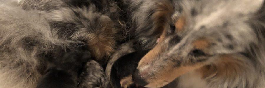 Pups van Lotus en Angie geboren